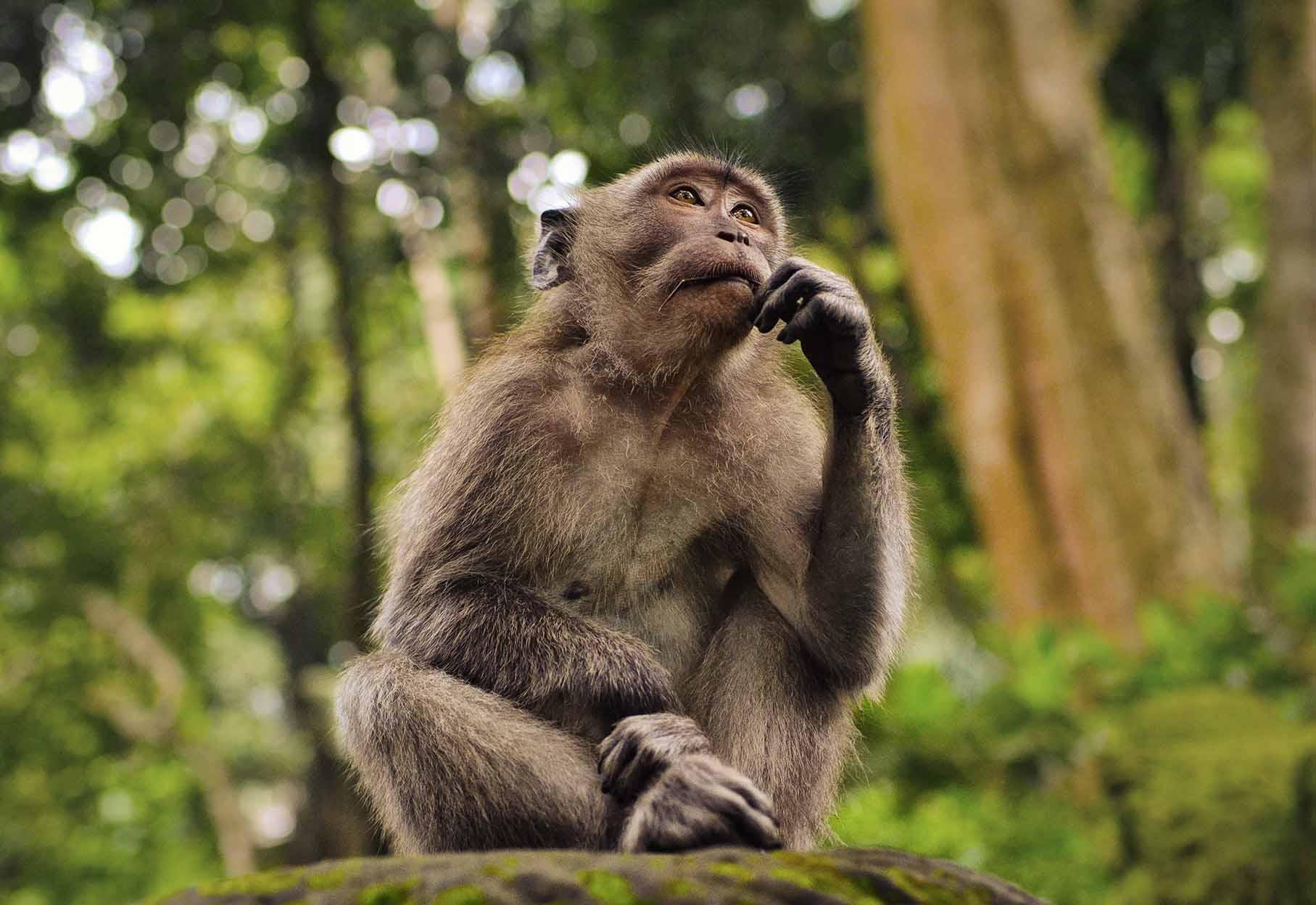 la scimmia pensa